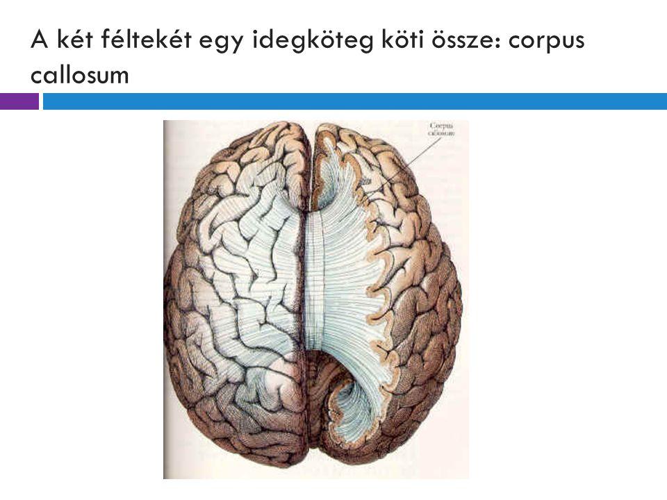 A két féltekét egy idegköteg köti össze: corpus callosum