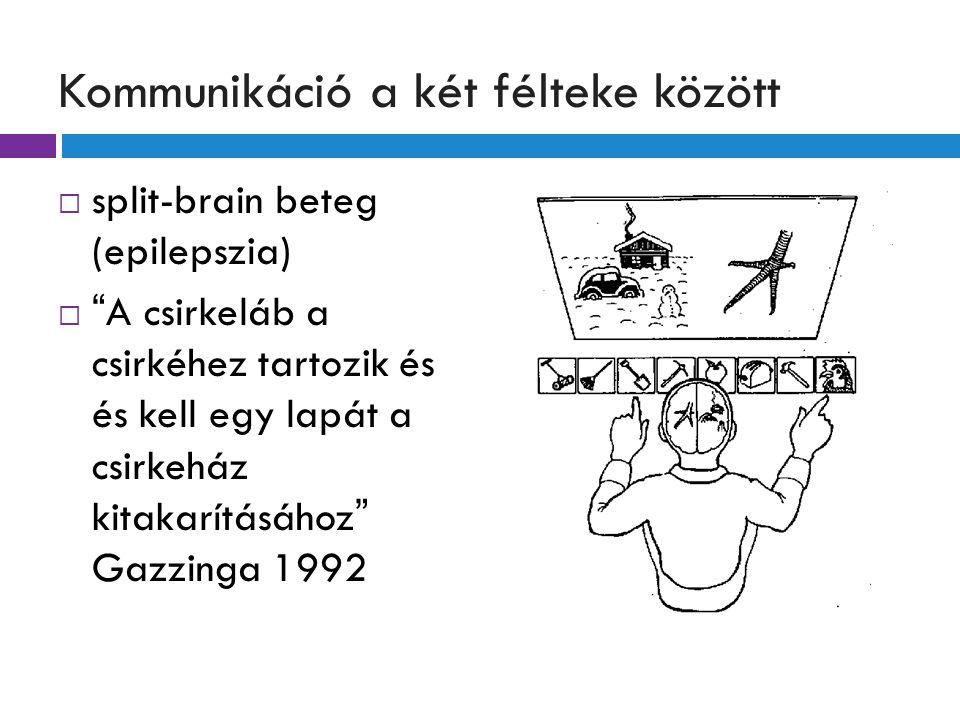 Kommunikáció a két félteke között  split-brain beteg (epilepszia)  A csirkeláb a csirkéhez tartozik és és kell egy lapát a csirkeház kitakarításához Gazzinga 1992