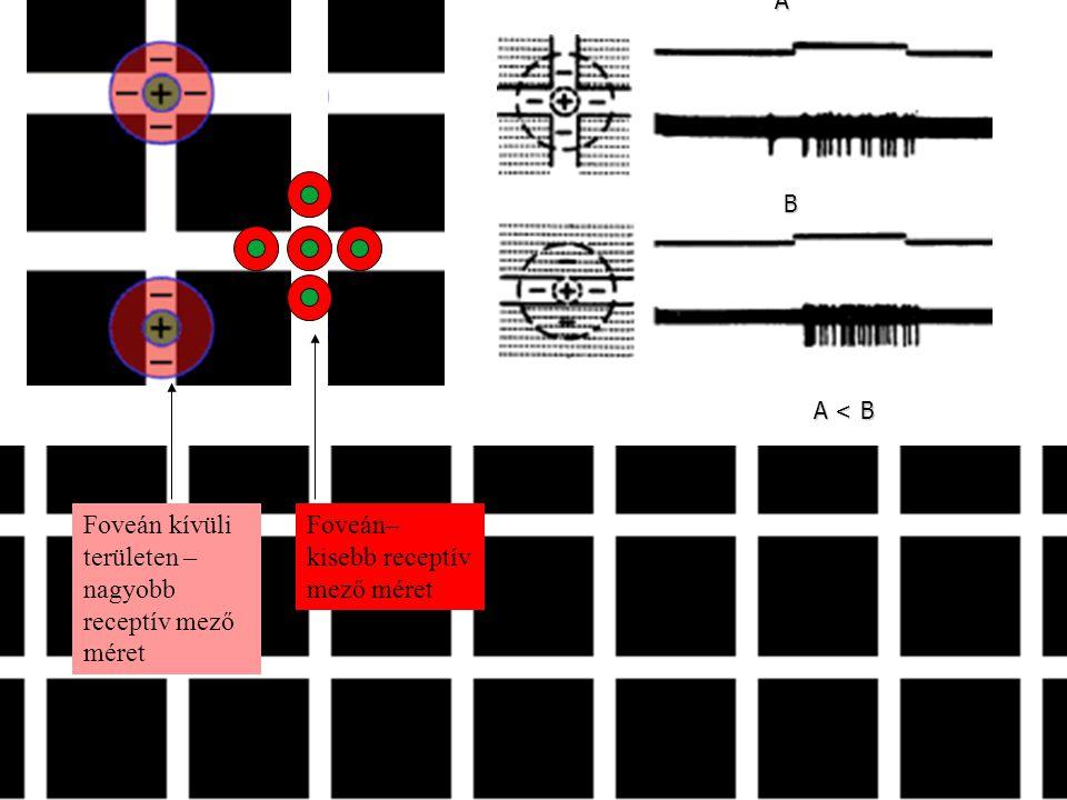 A B A < B Foveán kívüli területen – nagyobb receptív mező méret Foveán– kisebb receptív mező méret