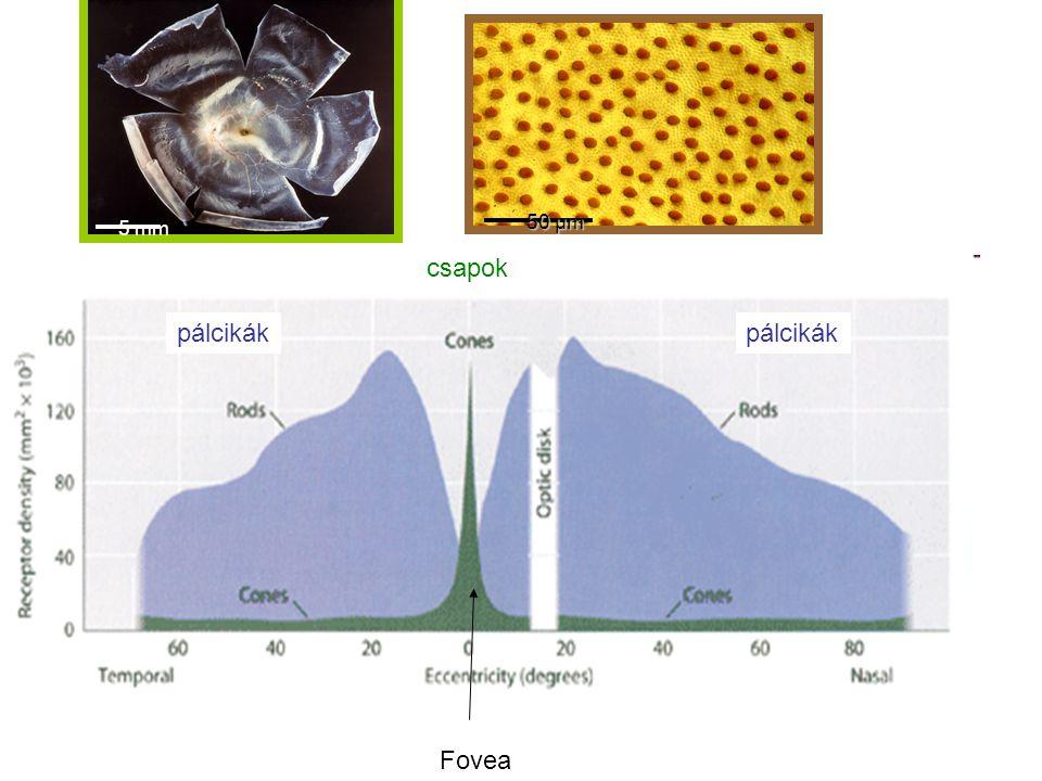 Fovea csapok pálcikák 5 mm 50 µm