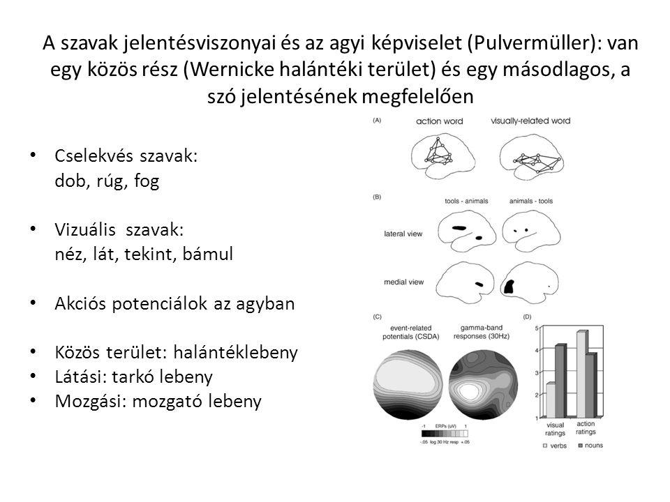 A szavak jelentésviszonyai és az agyi képviselet (Pulvermüller): van egy közös rész (Wernicke halántéki terület) és egy másodlagos, a szó jelentésének