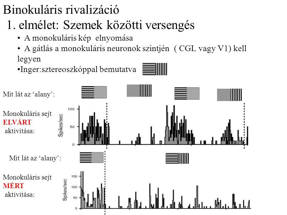 Binokuláris rivalizáció 1. elmélet: Szemek közötti versengés A monokuláris kép elnyomása A gátlás a monokuláris neuronok szintjén ( CGL vagy V1) kell
