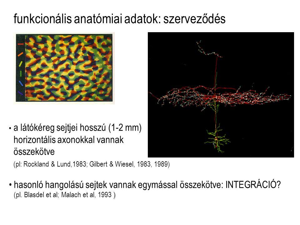 funkcionális anatómiai adatok: szerveződés a látókéreg sejtjei hosszú (1-2 mm) horizontális axonokkal vannak összekötve (pl: Rockland & Lund,1983; Gilbert & Wiesel, 1983, 1989) hasonló hangolású sejtek vannak egymással összekötve: INTEGRÁCIÓ.