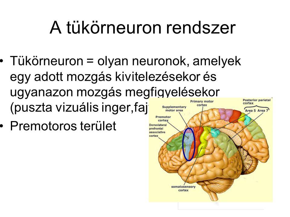 A tükörneuron rendszer Tükörneuron = olyan neuronok, amelyek egy adott mozgás kivitelezésekor és ugyanazon mozgás megfigyelésekor (puszta vizuális inger,fajtárs) is reagálnak Premotoros terület