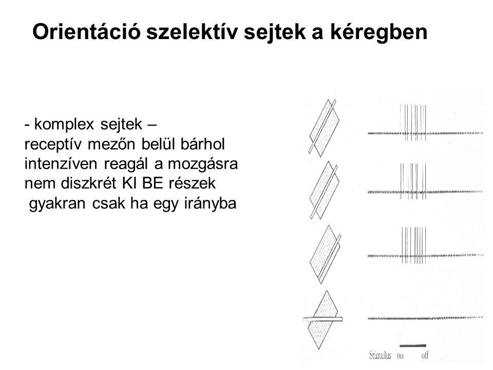 Orientáció szelektív sejtek a kéregben - komplex sejtek – receptív mezőn belül bárhol intenzíven reagál a mozgásra nem diszkrét KI BE részek gyakran c