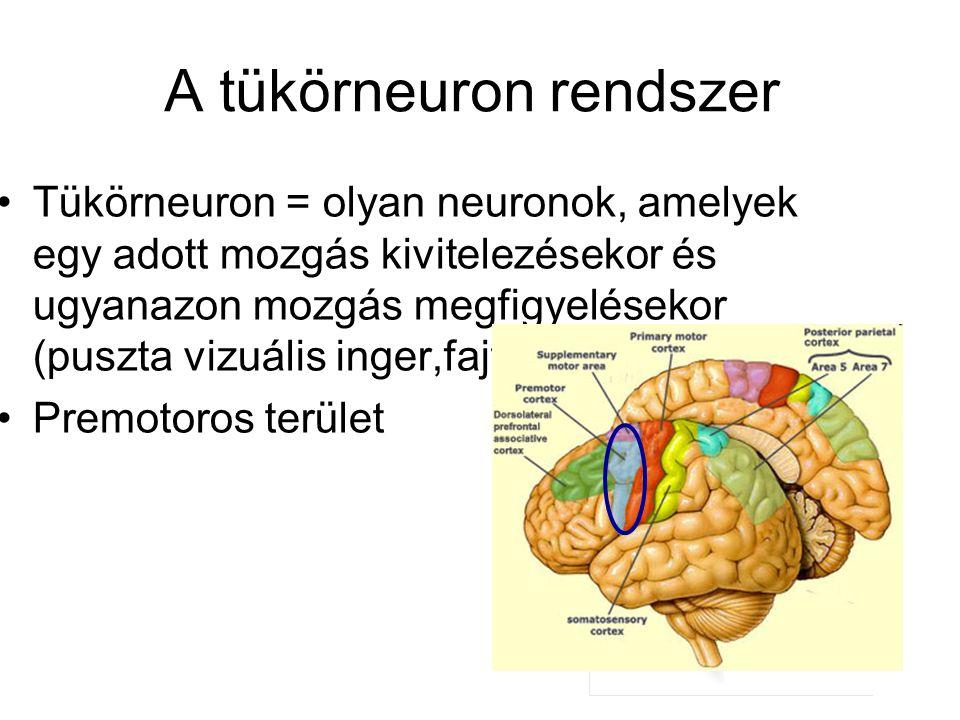 A tükörneuron rendszer Tükörneuron = olyan neuronok, amelyek egy adott mozgás kivitelezésekor és ugyanazon mozgás megfigyelésekor (puszta vizuális ing