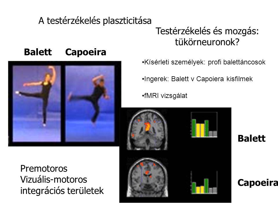 Balett Capoeira Testérzékelés és mozgás: tükörneuronok? A testérzékelés plaszticitása Premotoros Vizuális-motoros integrációs területek Balett Capoeir