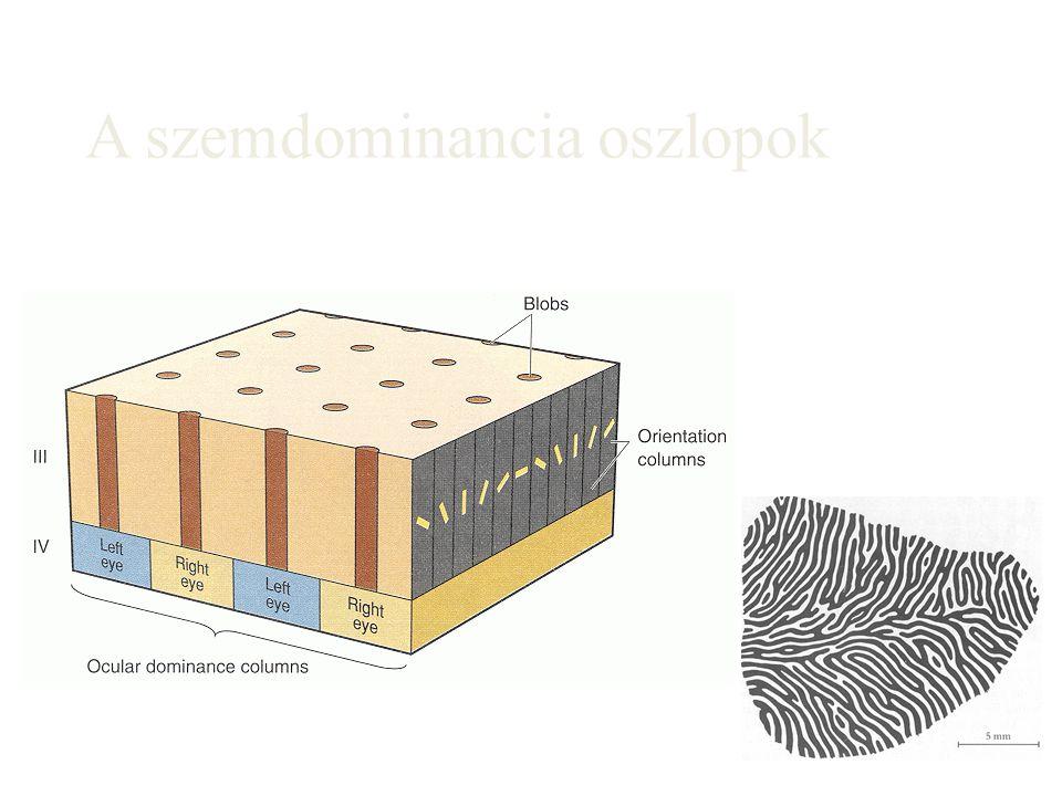 A szemdominancia oszlopok