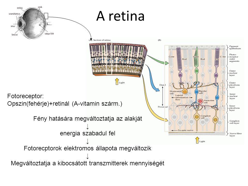 A retina Fotoreceptor: Opszin(fehérje)+retinál (A-vitamin szárm.) Fény hatására megváltoztatja az alakját ↓ energia szabadul fel ↓ Fotorecptorok elekt