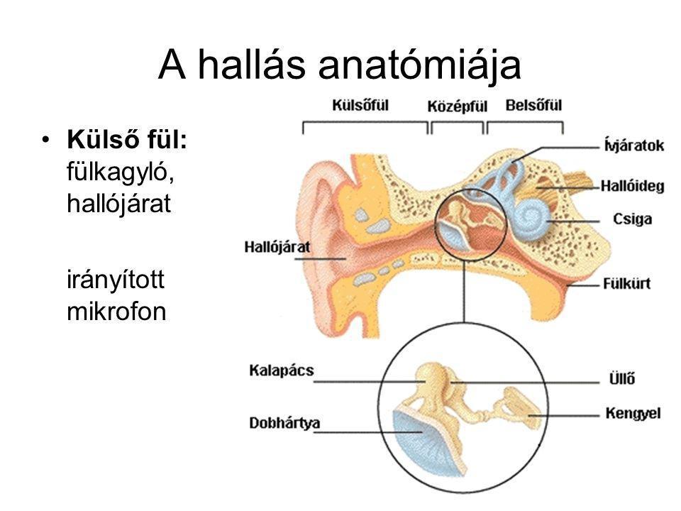 A hallás anatómiája Külső fül: fülkagyló, hallójárat irányított mikrofon