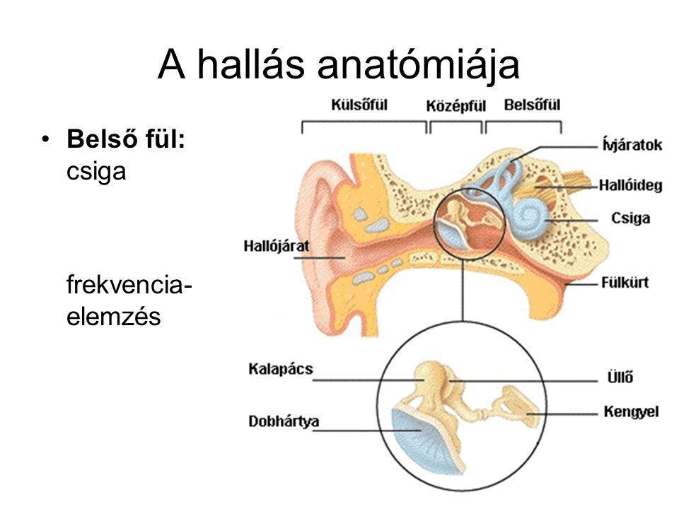 A hallás anatómiája Középfül: halló- csontocskák erősítés, túlterhelés- védelem