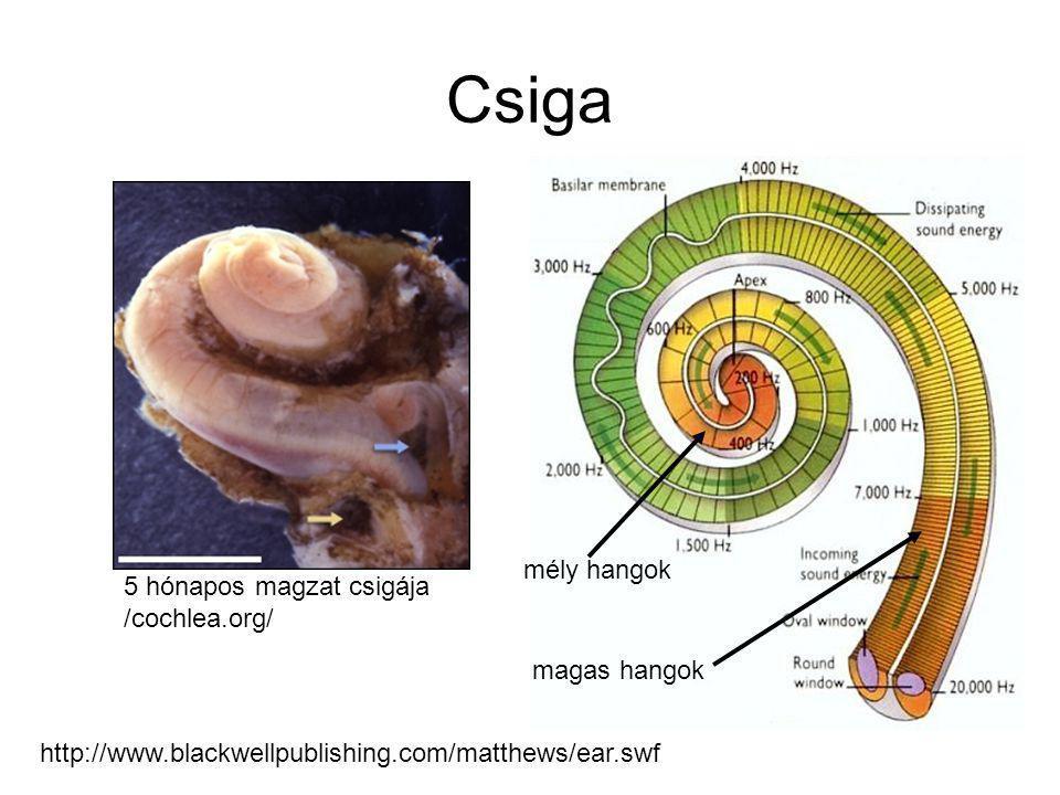 Csiga http://www.blackwellpublishing.com/matthews/ear.swf 5 hónapos magzat csigája /cochlea.org/ magas hangok mély hangok