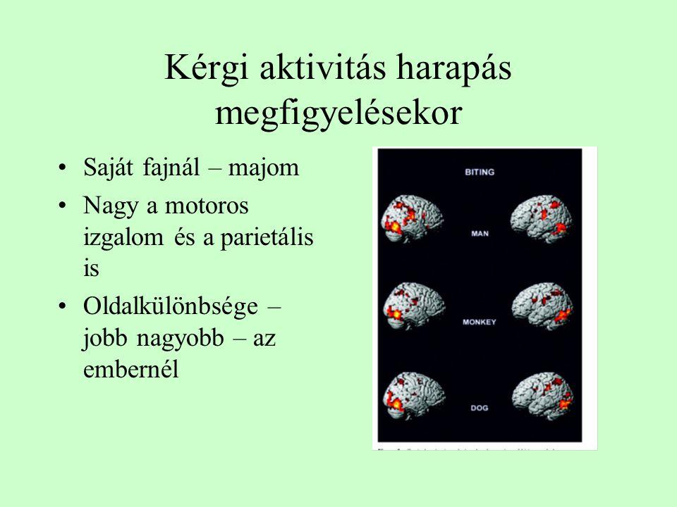 Kérgi aktivitás harapás megfigyelésekor Saját fajnál – majom Nagy a motoros izgalom és a parietális is Oldalkülönbsége – jobb nagyobb – az embernél
