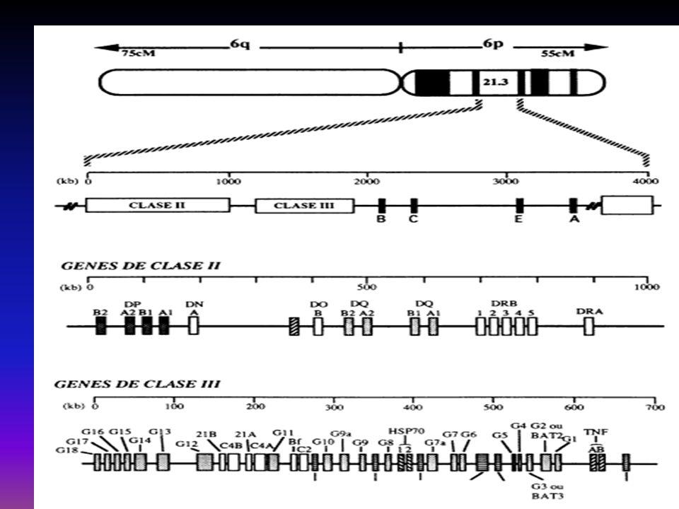 A HLA társulás jelentősége Susceptibilitási gén? Autoimmun marker? Oki tényező? Az érintett haplotípus jelenléte nem bizonyít, hiánya (gyakorlatilag)
