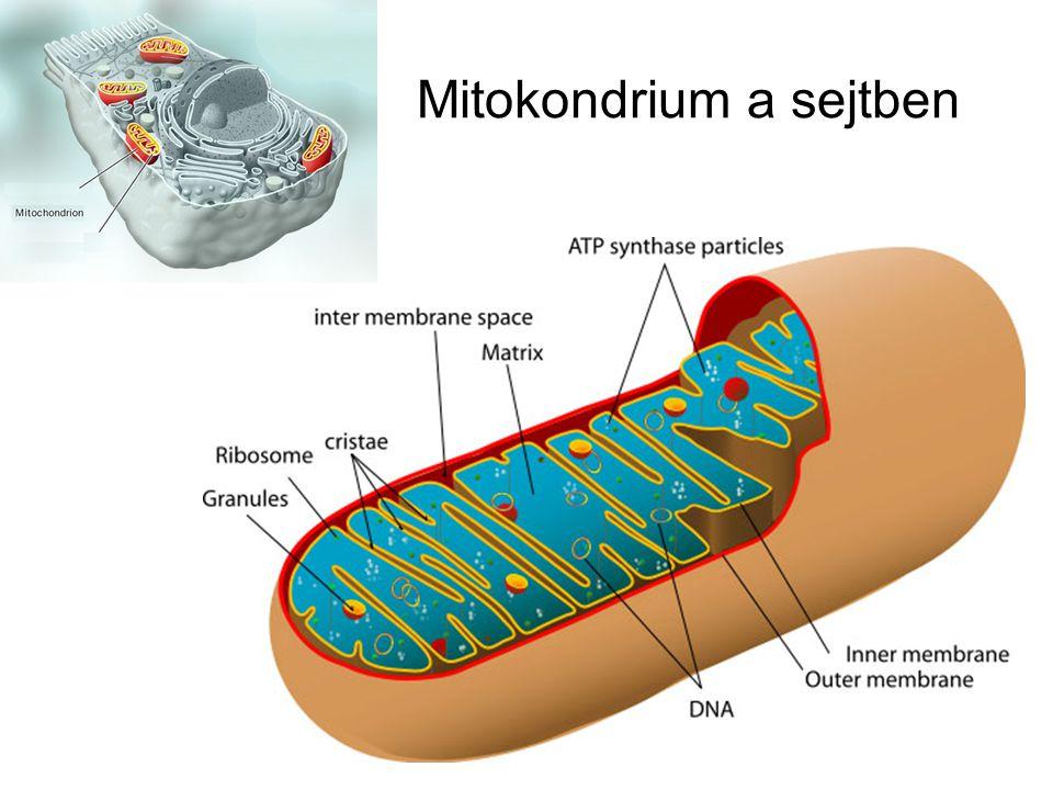 Mitokondrium a sejtben