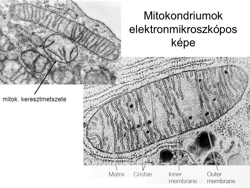 Mitokondriumok elektronmikroszkópos képe mitok. keresztmetszete