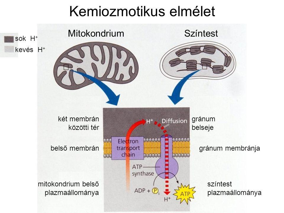 sok H + kevés H + MitokondriumSzíntest két membrán közötti tér gránum belseje belső membrángránum membránja mitokondrium belső plazmaállománya színtest plazmaállománya Kemiozmotikus elmélet
