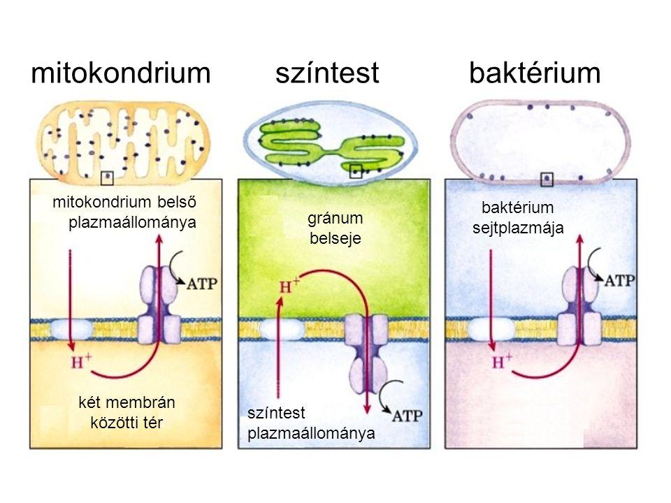 mitokondrium színtest baktérium két membrán közötti tér gránum belseje baktérium sejtplazmája mitokondrium belső plazmaállománya színtest plazmaállománya