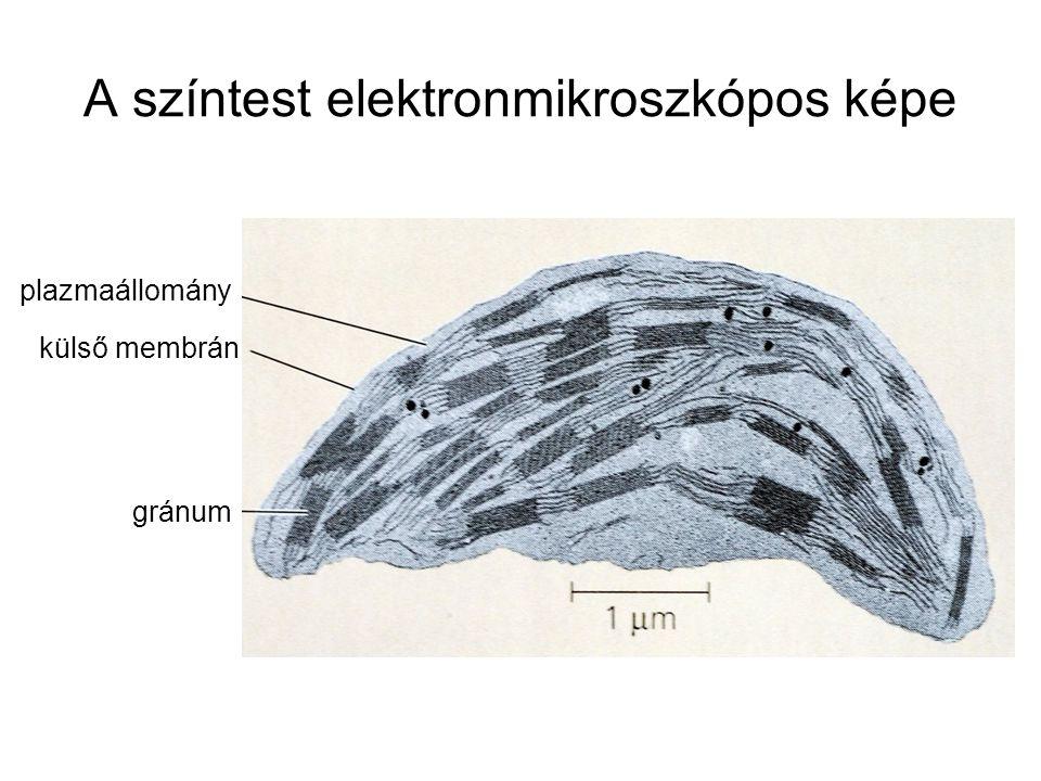 A színtest elektronmikroszkópos képe plazmaállomány külső membrán gránum