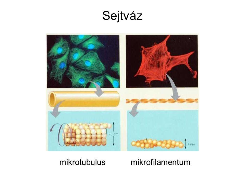 A sejtváznak az állábas mozgásban is szerepe van.