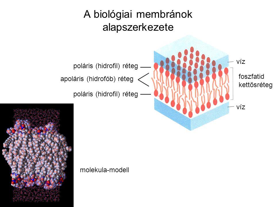 foszfatid kettősréteg víz poláris (hidrofil) réteg apoláris (hidrofób) réteg A biológiai membránok alapszerkezete molekula-modell