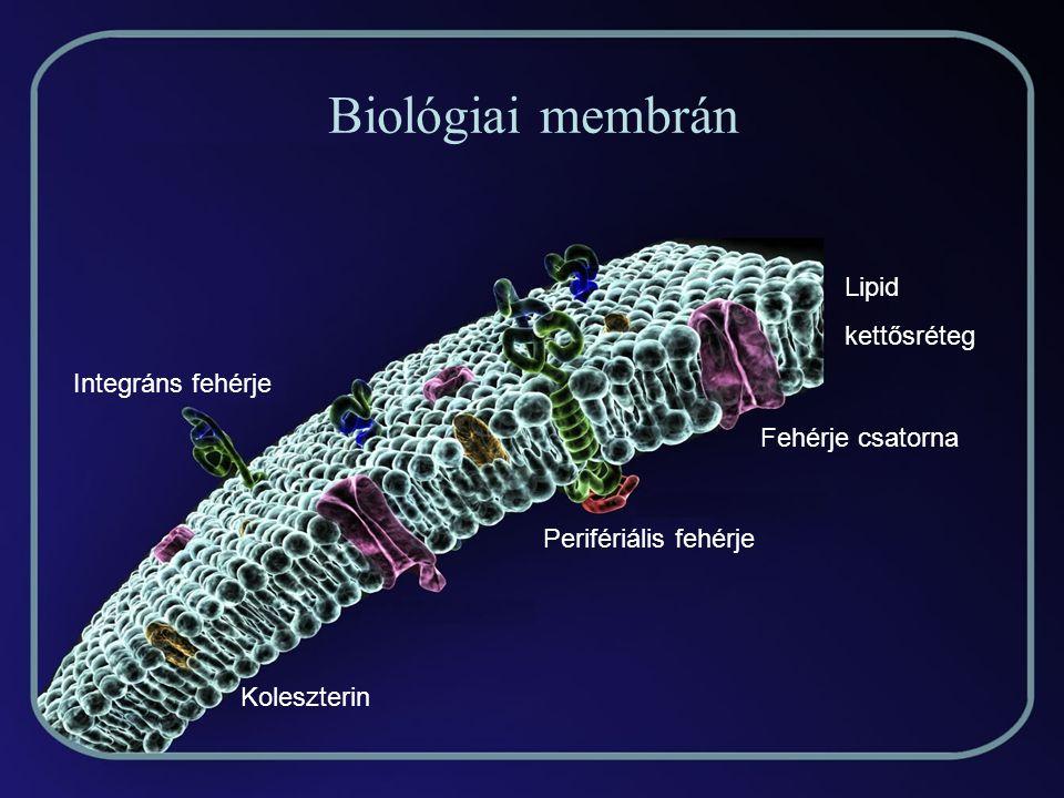 A membrán félig folyékony A lipid molekulák könnyen helyet cserének, forognak tengelyük körül, a membrán fehérjéi is változtatják helyüket: animáció A rétegek közötti ugrálás ritka.