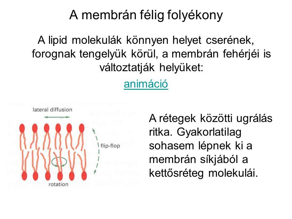 A membrán félig folyékony A lipid molekulák könnyen helyet cserének, forognak tengelyük körül, a membrán fehérjéi is változtatják helyüket: animáció A