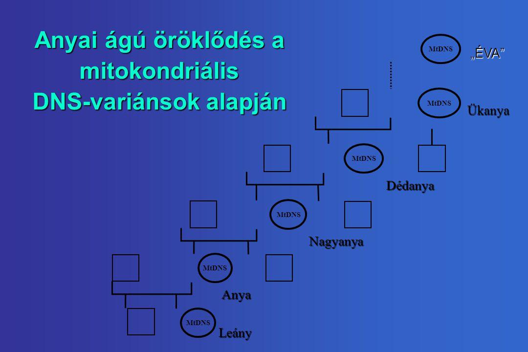 """Anyai ágú öröklődés a mitokondriális DNS-variánsok alapján MtDNS """"ÉVA Ükanya Dédanya Nagyanya Anya Leány"""
