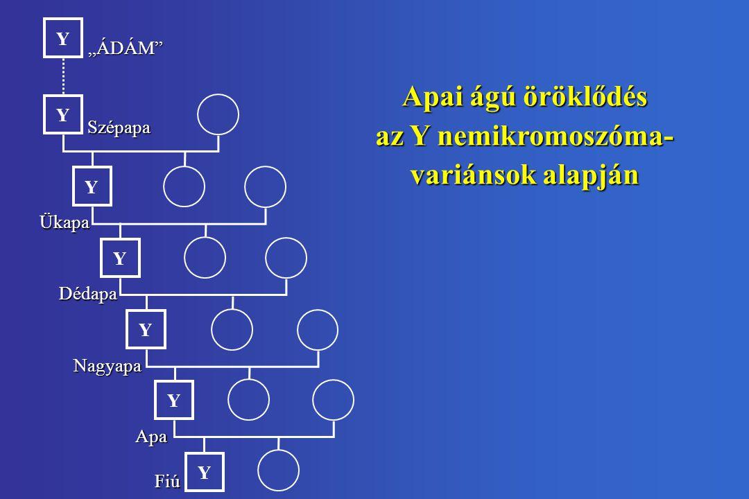 """Apai ágú öröklődés az Y nemikromoszóma- variánsok alapján Y Y Y Y """"ÁDÁM Szépapa Apa Fiú Y Ükapa Y Y Nagyapa Dédapa"""