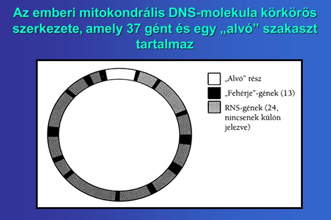 """Az emberi mitokondrális DNS-molekula körkörös szerkezete, amely 37 gént és egy """"alvó szakaszt tartalmaz"""