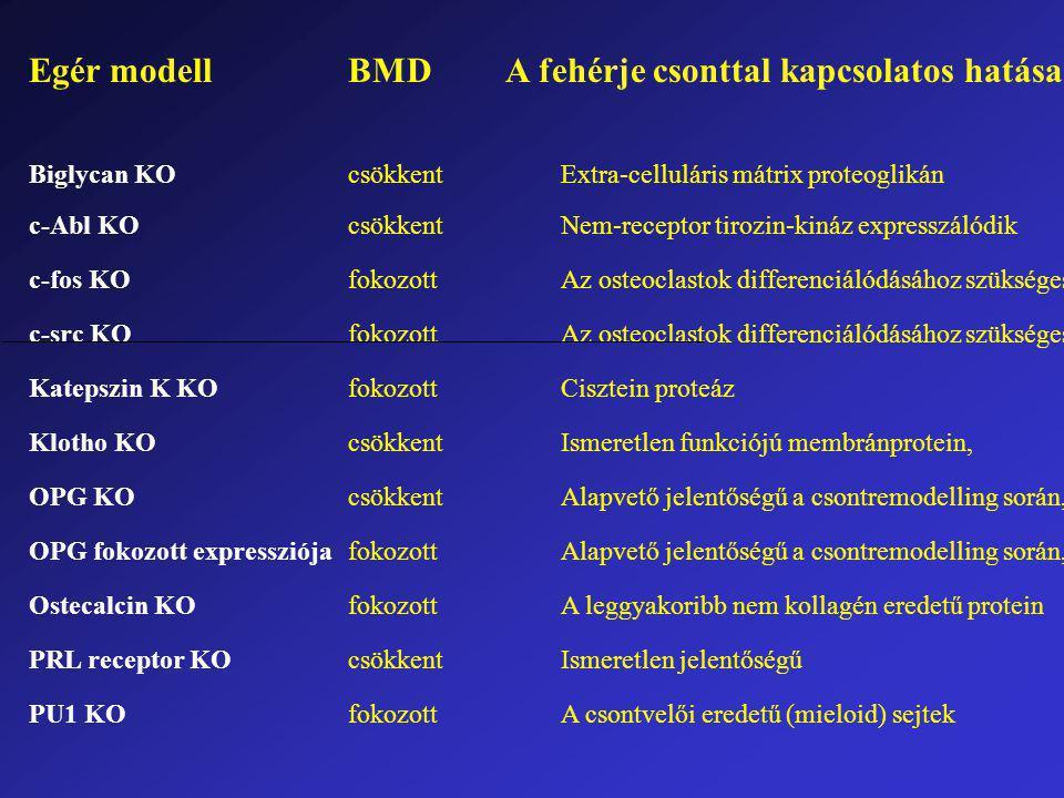 Egér modellBMD A fehérje csonttal kapcsolatos hatása Biglycan KOcsökkentExtra-celluláris mátrix proteoglikán c-Abl KOcsökkentNem-receptor tirozin-kináz expresszálódik c-fos KOfokozottAz osteoclastok differenciálódásához szükséges c-src KOfokozottAz osteoclastok differenciálódásához szükséges Katepszin K KOfokozottCisztein proteáz Klotho KOcsökkentIsmeretlen funkciójú membránprotein, OPG KOcsökkentAlapvető jelentőségű a csontremodelling során, OPG fokozott expressziójafokozottAlapvető jelentőségű a csontremodelling során, Ostecalcin KOfokozottA leggyakoribb nem kollagén eredetű protein PRL receptor KOcsökkentIsmeretlen jelentőségű PU1 KOfokozottA csontvelői eredetű (mieloid) sejtek