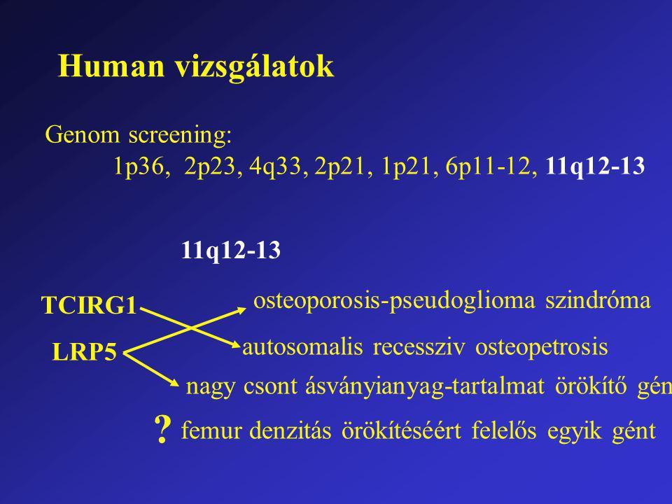 Human vizsgálatok Genom screening: 1p36, 2p23, 4q33, 2p21, 1p21, 6p11-12, 11q12-13 11q12-13 TCIRG1 LRP5 osteoporosis-pseudoglioma szindróma autosomalis recessziv osteopetrosis nagy csont ásványianyag-tartalmat örökítő gén femur denzitás örökítéséért felelős egyik gént