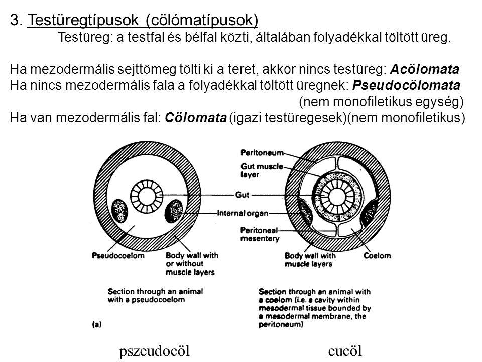 pszeudocöl eucöl 3. Testüregtípusok (cölómatípusok) Testüreg: a testfal és bélfal közti, általában folyadékkal töltött üreg. Ha mezodermális sejttömeg