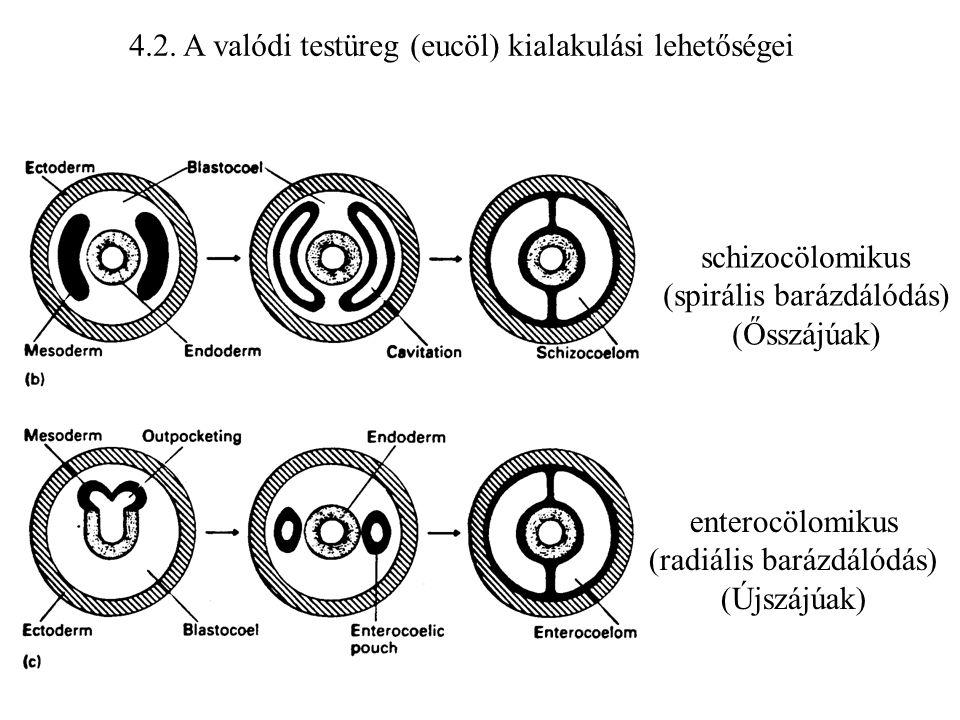 4.2. A valódi testüreg (eucöl) kialakulási lehetőségei schizocölomikus (spirális barázdálódás) (Ősszájúak) enterocölomikus (radiális barázdálódás) (Új