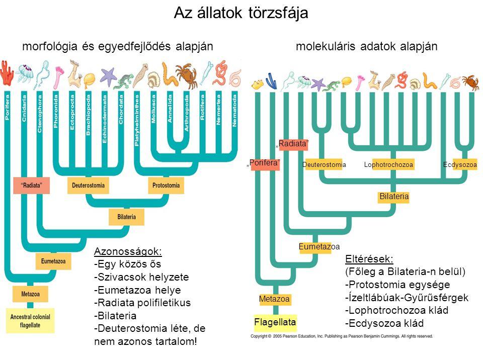 """Flagellata Metazoa Eumetazoa Bilateria """"Porifera"""" Deuterostomia Lophotrochozoa Ecdysozoa """"Radiata"""" Az állatok törzsfája morfológia és egyedfejlődés al"""