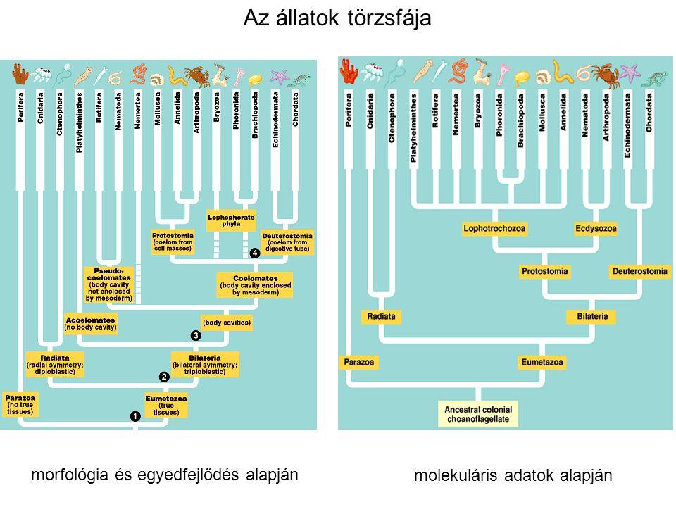 Az állatok törzsfája molekuláris adatok alapján morfológia és egyedfejlődés alapján
