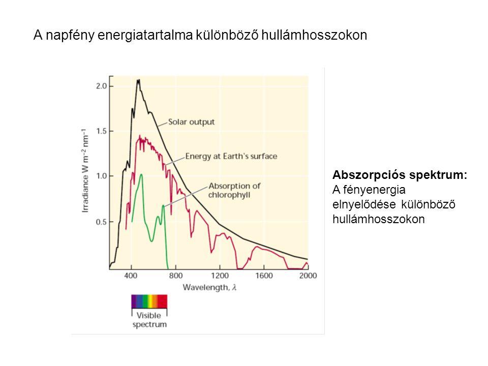 A napfény energiatartalma különböző hullámhosszokon Abszorpciós spektrum: A fényenergia elnyelődése különböző hullámhosszokon