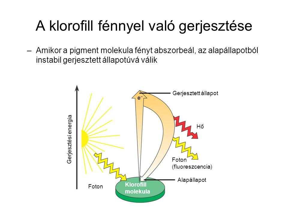 A klorofill fénnyel való gerjesztése –Amikor a pigment molekula fényt abszorbeál, az alapállapotból instabil gerjesztett állapotúvá válik Gerjesztett