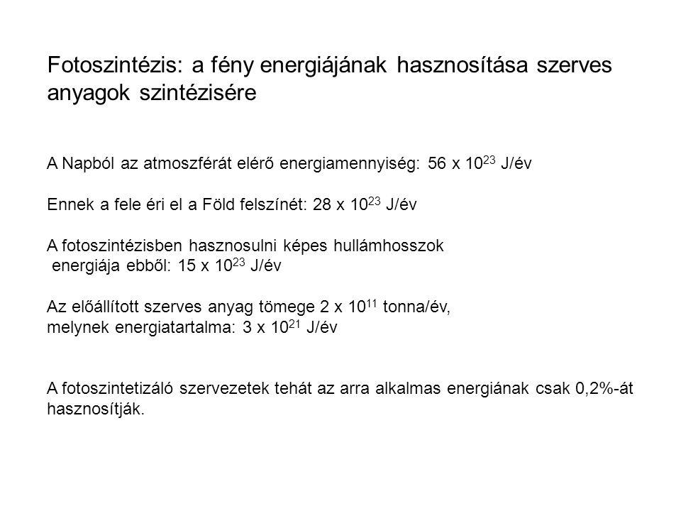 A fotoszintetikus elektrontranszportlánc FÉNY REAKCIÓ NADP + ADP ATP NADPH CALVIN CIKLUS [CH 2 O] (cukor) SZTRÓMA (Alacsony H + koncentráció) Photosystem II FÉNY H2OH2O CO 2 Citokróm komplex O2O2 H2OH2O O2O2 1⁄21⁄2 Photosystem I Fény LUMEN (Magas H + koncentráció) SZTRÓMA (Alacsony H + koncentráció) Tilakoid membrán ATP szintáz Pq Pc Fd NADP + reduktáz NADPH + H + NADP + + 2H + A Calvin- ciklus felé ADP + P ATP H+H+ 2 H + +2 H + 2 H + Fény
