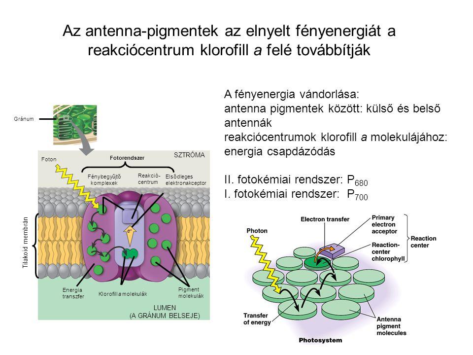 Az antenna-pigmentek az elnyelt fényenergiát a reakciócentrum klorofill a felé továbbítják A fényenergia vándorlása: antenna pigmentek között: külső é