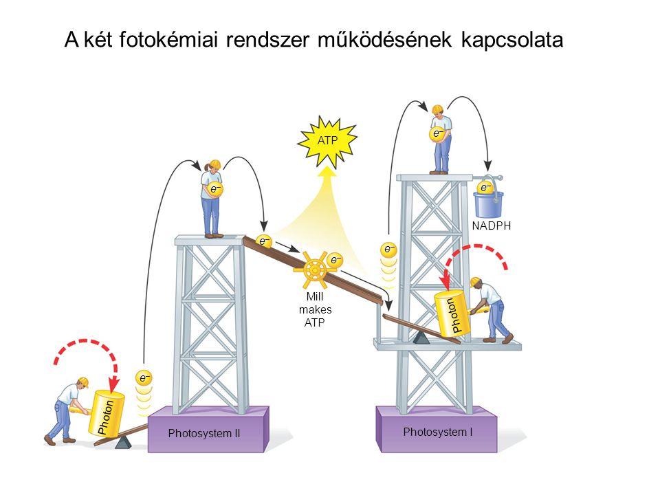 Mill makes ATP e–e– e–e– e–e– e–e– e–e– Photon Photosystem II Photosystem I e–e– e–e– NADPH Photon A két fotokémiai rendszer működésének kapcsolata