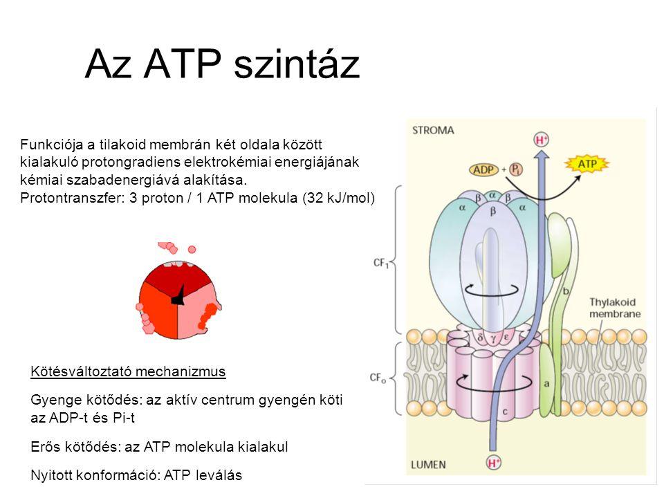 Az ATP szintáz Kötésváltoztató mechanizmus Gyenge kötődés: az aktív centrum gyengén köti az ADP-t és Pi-t Erős kötődés: az ATP molekula kialakul Nyito