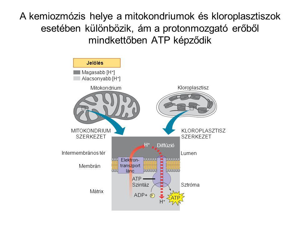 A kemiozmózis helye a mitokondriumok és kloroplasztiszok esetében különbözik, ám a protonmozgató erőből mindkettőben ATP képződik Jelölés Magasabb [H