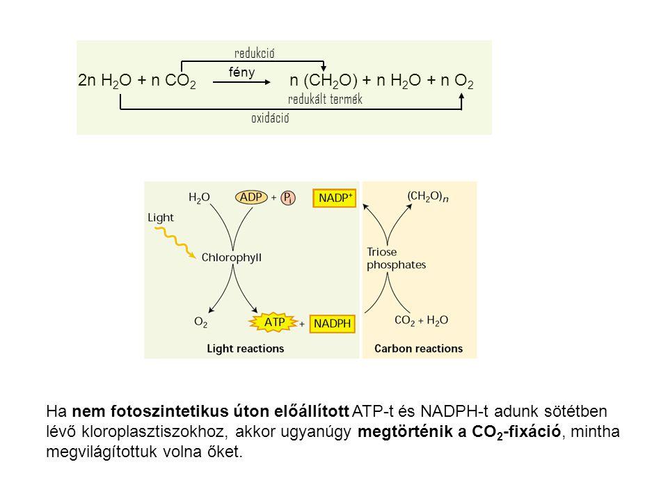 Ha nem fotoszintetikus úton előállított ATP-t és NADPH-t adunk sötétben lévő kloroplasztiszokhoz, akkor ugyanúgy megtörténik a CO 2 -fixáció, mintha m