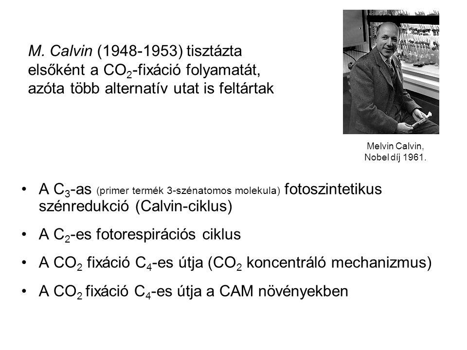 A C 3 -as (primer termék 3-szénatomos molekula) fotoszintetikus szénredukció (Calvin-ciklus) A C 2 -es fotorespirációs ciklus A CO 2 fixáció C 4 -es ú