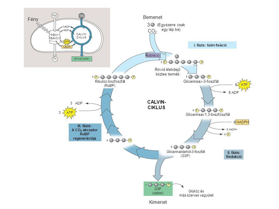 (G3P) Bemenet (Egyszerre csak egy lép be) CO 2 3 Rubisco Rövid életidejű köztes termék 3 PP P Ribulóz-biszfoszfát (RuBP) P Glicerinsav-3-foszfát P6 P