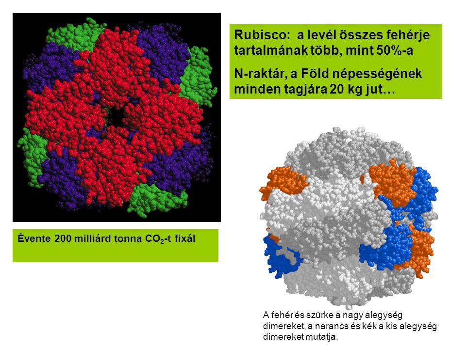Rubisco: a levél összes fehérje tartalmának több, mint 50%-a N-raktár, a Föld népességének minden tagjára 20 kg jut… Évente 200 milliárd tonna CO 2 -t