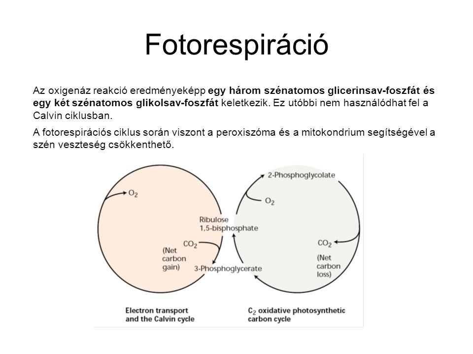 Fotorespiráció Az oxigenáz reakció eredményeképp egy három szénatomos glicerinsav-foszfát és egy két szénatomos glikolsav-foszfát keletkezik. Ez utóbb