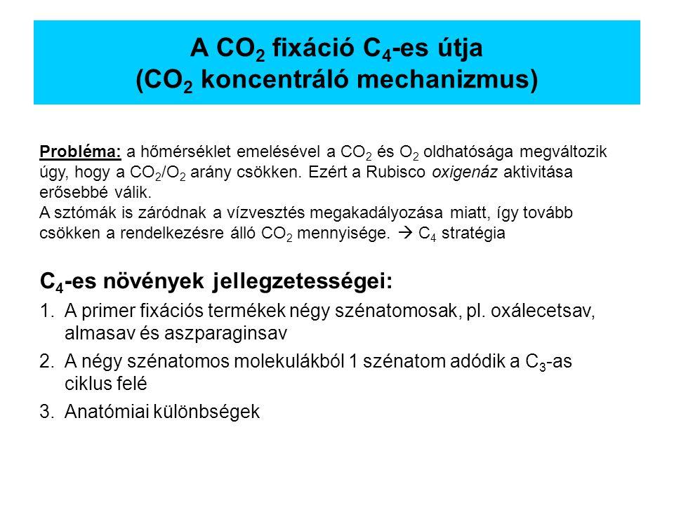 A CO 2 fixáció C 4 -es útja (CO 2 koncentráló mechanizmus) C 4 -es növények jellegzetességei: 1.A primer fixációs termékek négy szénatomosak, pl. oxál