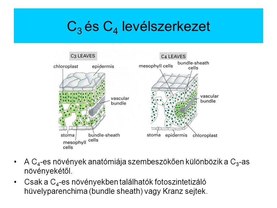 C 3 és C 4 levélszerkezet A C 4 -es növények anatómiája szembeszökően különbözik a C 3 -as növényekétől. Csak a C 4 -es növényekben találhatók fotoszi